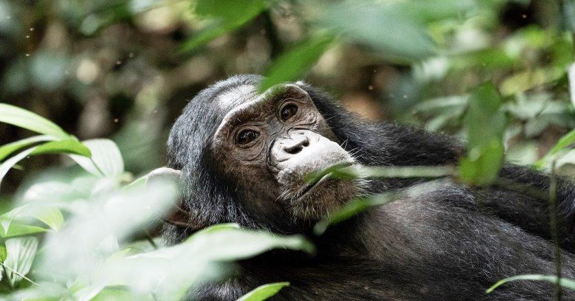 Chimpanzee Trekking in Kyambura Gorge