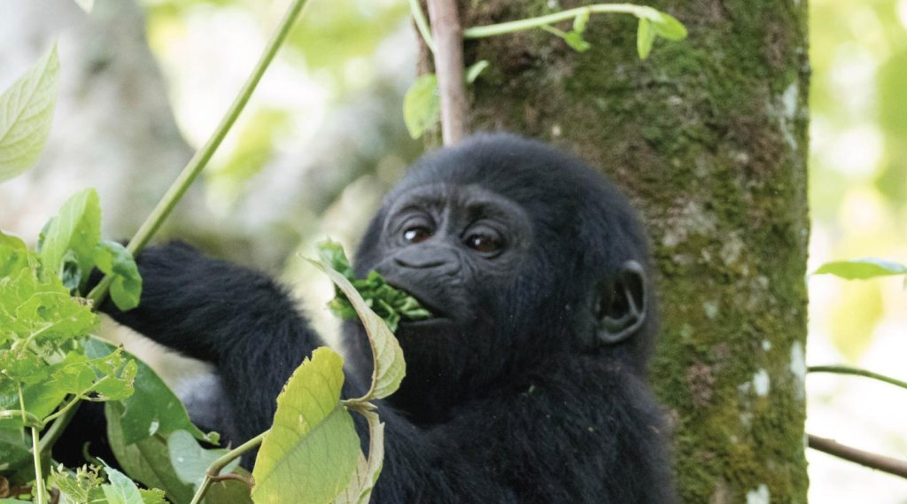 14 Days Classic Uganda Wildlife, Birding and Primates Safari