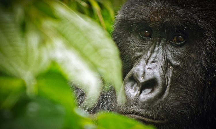 4 Days Virunga Gorilla Trekking Safari
