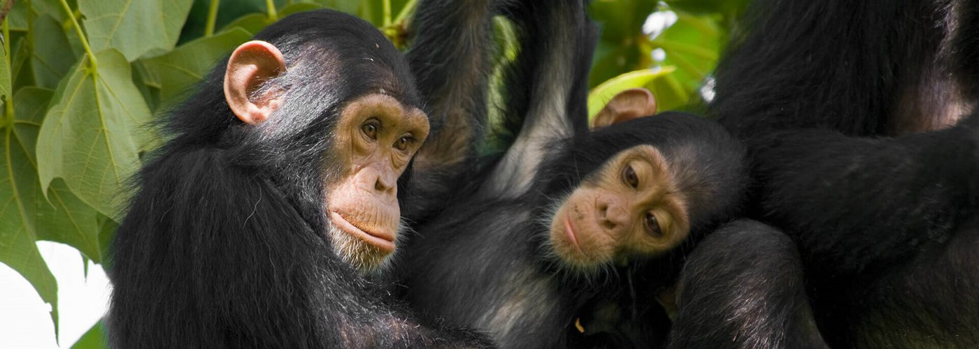 Re-opening of the Primates National Parks
