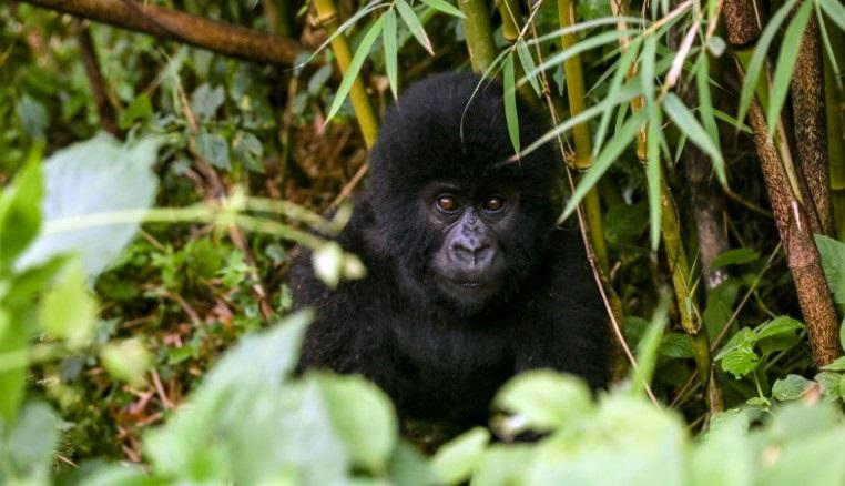 2 Days Virunga Gorilla Trekking Safari from Kigali